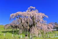 三春の滝桜 10769002147| 写真素材・ストックフォト・画像・イラスト素材|アマナイメージズ