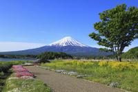 河口湖畔の大石公園から望む富士山