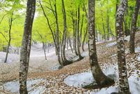 大厳寺高原 残雪と新緑のブナ林