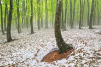 美人林 残雪と新緑のブナ林に霧