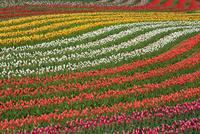 世羅高原農場のチューリップ