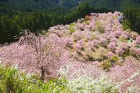 シダレザクラ咲く高見の郷