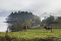 牧草地でくつろぐ牛 10770000009| 写真素材・ストックフォト・画像・イラスト素材|アマナイメージズ