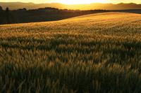 夕暮れの麦畑