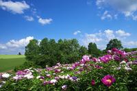 青空と芍薬の丘 10770000041| 写真素材・ストックフォト・画像・イラスト素材|アマナイメージズ