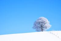 青空に一本の霧氷のついた木 10770000043| 写真素材・ストックフォト・画像・イラスト素材|アマナイメージズ