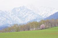 雪山と一本桜 10770000045| 写真素材・ストックフォト・画像・イラスト素材|アマナイメージズ