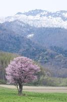 満開の一本桜 10770000046| 写真素材・ストックフォト・画像・イラスト素材|アマナイメージズ