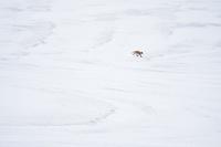 雪原を歩くキツネ 10770000048| 写真素材・ストックフォト・画像・イラスト素材|アマナイメージズ