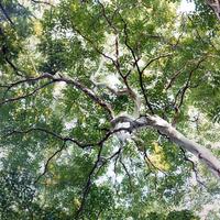 林試の森公園のシマサルスベリの白い幹と風に揺れる緑の葉
