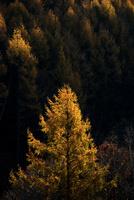 カラマツの紅葉 10770000105| 写真素材・ストックフォト・画像・イラスト素材|アマナイメージズ
