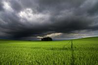 曇り空と麦畑