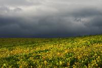 曇り空と豆畑