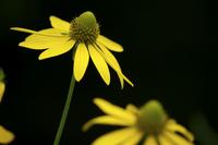 オオハンゴンソウの花 10770000108| 写真素材・ストックフォト・画像・イラスト素材|アマナイメージズ