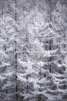 雪のついたカラマツ 10770000111| 写真素材・ストックフォト・画像・イラスト素材|アマナイメージズ