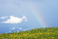 向日葵と虹 10770000113| 写真素材・ストックフォト・画像・イラスト素材|アマナイメージズ