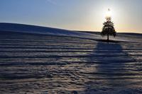 夕暮れのクリスマスツリーの木 10770000114| 写真素材・ストックフォト・画像・イラスト素材|アマナイメージズ