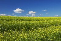 青空とキガラシの丘 10770000116| 写真素材・ストックフォト・画像・イラスト素材|アマナイメージズ