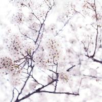 風にそよぐ淡い色の満開の桜の木を見上げる