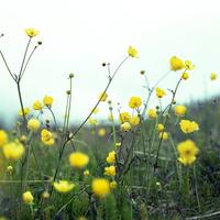 夏の白夜アイスランドの北西部ウェストフィヨルド地方フラトエイリに咲く小花soley(ソーレイ)