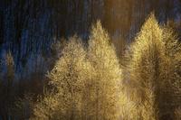 黄金の霧氷 10770000227| 写真素材・ストックフォト・画像・イラスト素材|アマナイメージズ