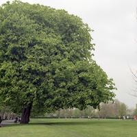 イギリス,ロンドンのリージェントパークの大きな木とサッカーをする人々