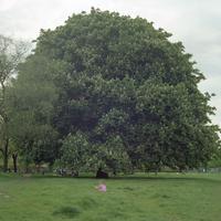 イギリス,ロンドンのリージェントパークの大きな木と女の子
