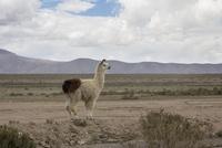 ウユニ塩湖の近くにいたアルパカ 10770000318| 写真素材・ストックフォト・画像・イラスト素材|アマナイメージズ