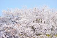 満開の桜 10770000340  写真素材・ストックフォト・画像・イラスト素材 アマナイメージズ
