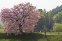 一本桜 10770000353| 写真素材・ストックフォト・画像・イラスト素材|アマナイメージズ