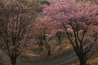 桜と道 10770000360| 写真素材・ストックフォト・画像・イラスト素材|アマナイメージズ