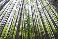 カラマツ林 10770000363| 写真素材・ストックフォト・画像・イラスト素材|アマナイメージズ