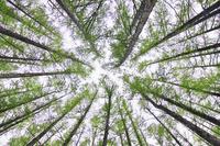 カラマツ林の新緑 10770000364| 写真素材・ストックフォト・画像・イラスト素材|アマナイメージズ