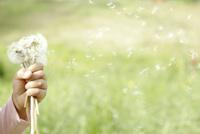 タンポポの綿毛を持つ女の子の手(片手)