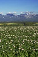 ジャガイモの花と十勝岳 10770000452| 写真素材・ストックフォト・画像・イラスト素材|アマナイメージズ