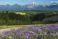 四季彩の丘と大雪山 10770000453| 写真素材・ストックフォト・画像・イラスト素材|アマナイメージズ