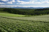 ジャガイモの丘