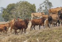 アサートン高原の牛 10770000465| 写真素材・ストックフォト・画像・イラスト素材|アマナイメージズ