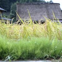 茅葺屋根を遠くに臨む稲