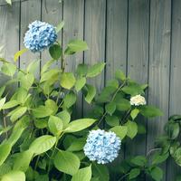 木の塀の前に咲くあじさい