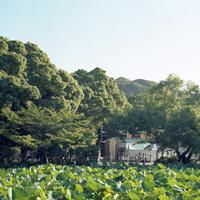 鎌倉鶴岡八幡宮の蓮が生い茂る源平池のそばでラジオ体操をする群衆