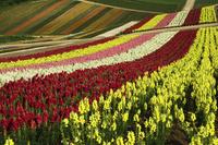 四季彩の丘と大雪山 10770000548| 写真素材・ストックフォト・画像・イラスト素材|アマナイメージズ