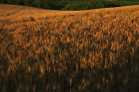 ゆめちからの麦 10770000549| 写真素材・ストックフォト・画像・イラスト素材|アマナイメージズ