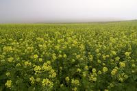 霧とキガラシの丘 10770000552| 写真素材・ストックフォト・画像・イラスト素材|アマナイメージズ