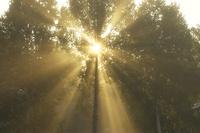 シラカバの木と光芒 10770000553| 写真素材・ストックフォト・画像・イラスト素材|アマナイメージズ