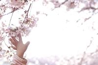 桜の枝に触ろうとする女の子