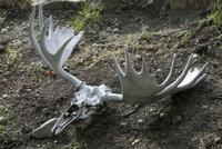 ムースの頭蓋骨 10770000619| 写真素材・ストックフォト・画像・イラスト素材|アマナイメージズ