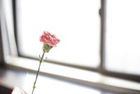 カーネーション 10778001932| 写真素材・ストックフォト・画像・イラスト素材|アマナイメージズ
