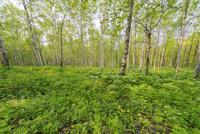 キトウシ森林公園のシラカバ林