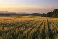 黄金色に輝く小麦畑